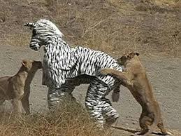 This is what appears to be two men dressed as a comedy zebra who have wandered into the territory of a couple of hungry lions. This is still a better idea than Metal Gear Survive.
